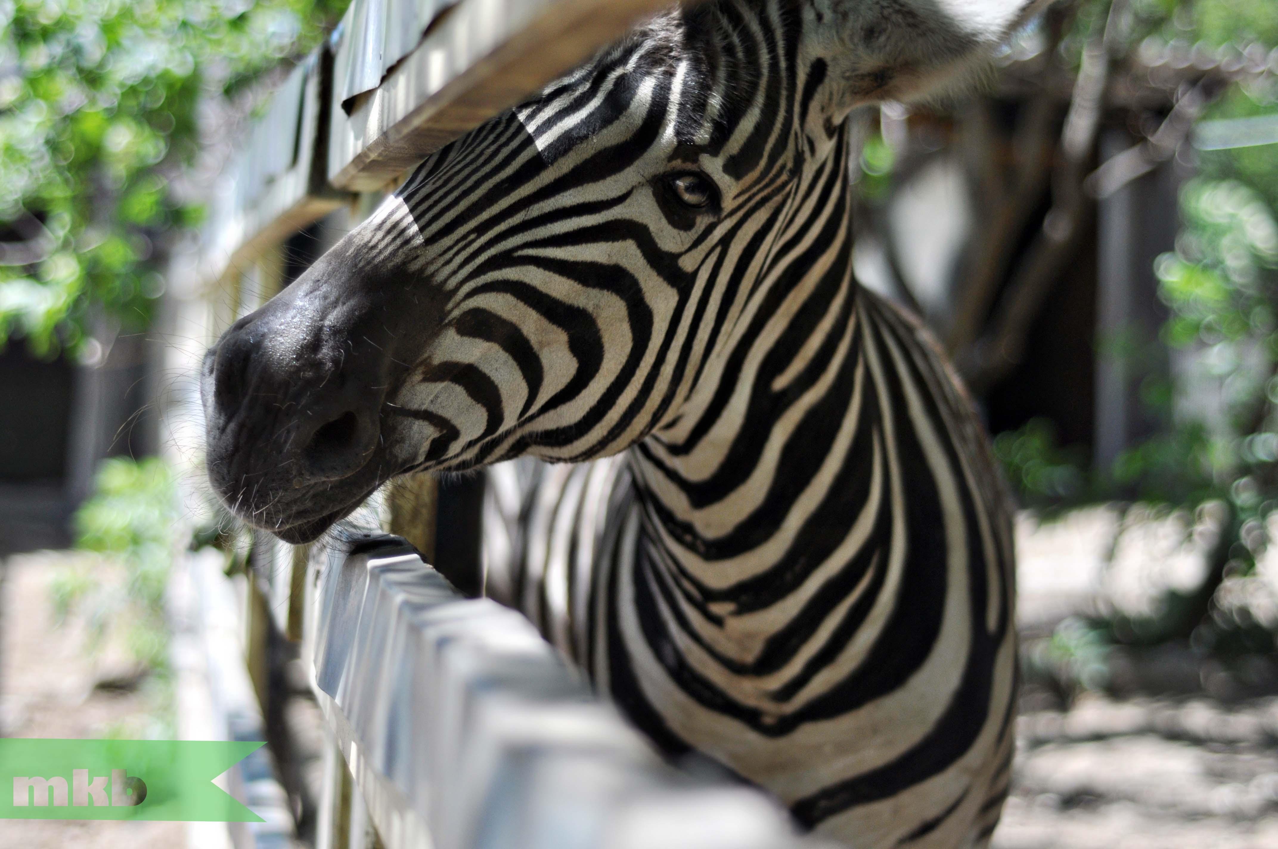 Zebra Pet Time Ever Petting a Zebra